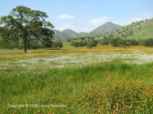 Yokohl Valley Wildflowers, copyright  © 2006 by Laurie Schwaller